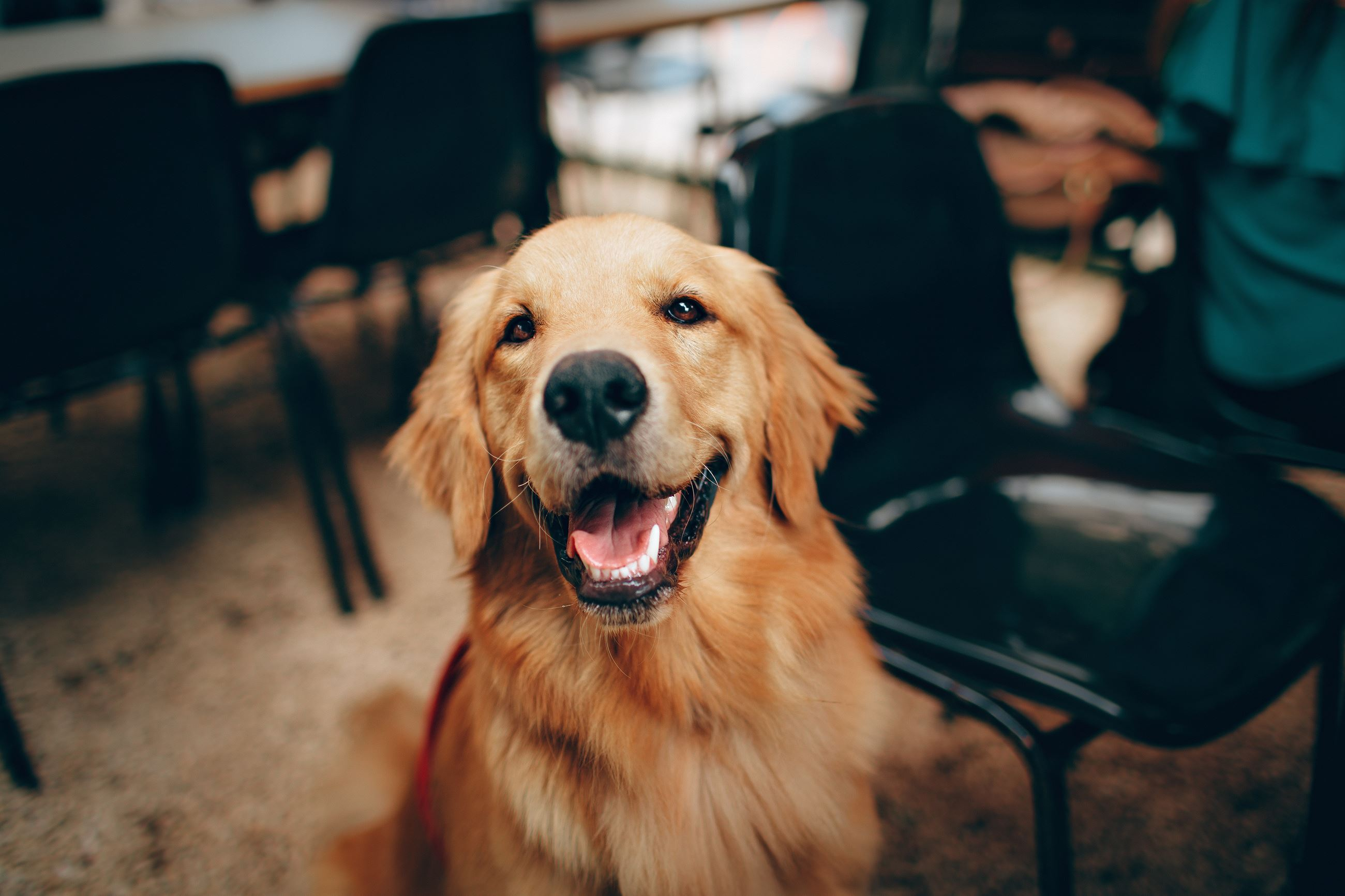 Happy Golden Retriever - Photo by Helena Lopes from Pexels
